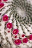 Cactus's flower Stock Photo