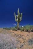 Cactus saguaro Stock Image
