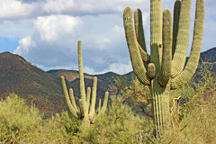 Cactus Saguaro Royalty-vrije Stock Foto's
