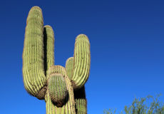 Cactus Saguaro Royalty Free Stock Photos