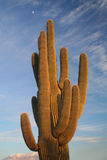 Cactus in Saguaro National Park Stock Photos