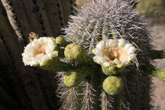 Cactus at Saguaro National Park, Arizona, USA Royalty Free Stock Photos