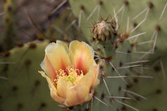 Cactus at Saguaro National Park, Arizona, USA Royalty Free Stock Photo