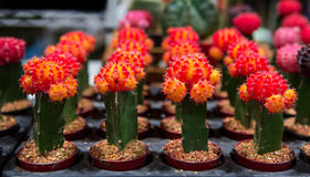 Cactus on sale in the shop. Blooming cactus on sale in the shop royalty free stock image