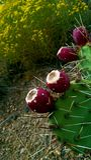 Cactus salvaje del higo chumbo Imagen de archivo libre de regalías