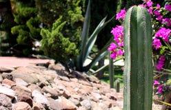 Cactus San Pedro Fotografie Stock Libere da Diritti