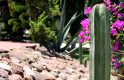 Cactus San Pedro Royalty Free Stock Photos
