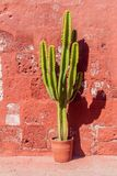 Cactus. In Santa Catalina monastery in Arequipa, Peru royalty free stock image