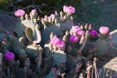 Cactus sauvages rouges de floraison de désert de Beavertail Images libres de droits