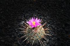 Cactus sbocciante, Fotografie Stock