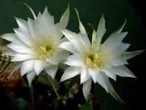 Cactus sbocciante della famiglia Echinopsis. Fotografia Stock
