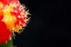 Cactus scharlaken in de macro, met een zwarte achtergrond Royalty-vrije Stock Fotografie