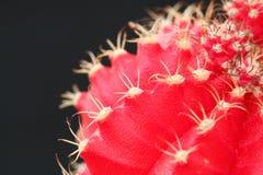 Cactus scharlaken in de macro, met een zwarte achtergrond Stock Foto's