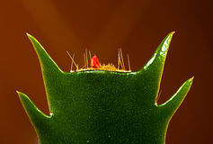 Cactus Schlumbergera truncata Royalty Free Stock Image