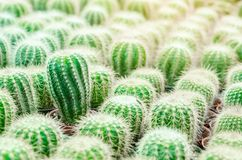 Selective focus close up on Golden barrel cactus. Echinocactus grusonii cluster. well known species of cactus, endemic to east-central Mexico widely cultivated stock photos