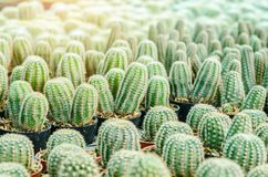 Selective focus close up on Golden barrel cactus. Echinocactus grusonii cluster. well known species of cactus, endemic to east-central Mexico widely cultivated royalty free stock images