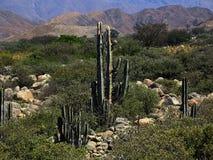 Cactus scrubland Royalty-vrije Stock Foto's