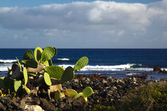 Cactus at seashore Stock Images