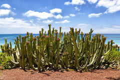 Cactus at seashore Stock Photo