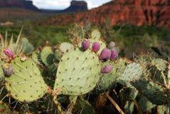 Cactus Sedona, AZ Immagine Stock Libera da Diritti