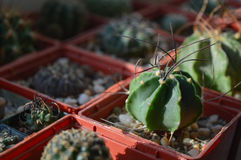 Cactus senile di Astrophytum in un vaso Fotografia Stock Libera da Diritti