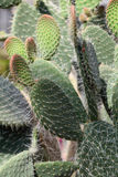 Cactus. Several green cactus leaves. Shallow focus Stock Images