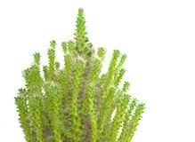 Cactus the shaggy green prickly Royalty Free Stock Images