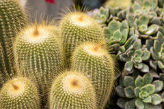 Cactus the sharp edged plants Stock Images