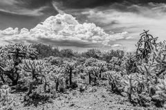 Cactus Shrubs in Desert Stock Photo