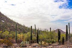Cactus on side of hill in Arizona Desert. Saguaro cactus on side of hill in Arizona desert with cloudy blue sky background Stock Photo