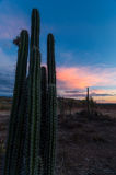 Cactus and Pink Clouds Stock Photo