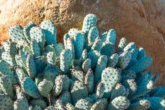 Cactus sin espinas de Emerald Prickly Pear en el contexto de la roca fotografía de archivo