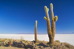 Cactus by slat planes Stock Photography