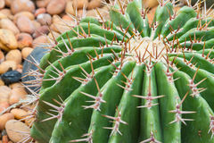 Cactus-5 Stock Photos