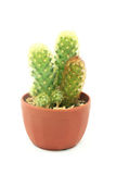 Cactus small in potted Royalty Free Stock Photo