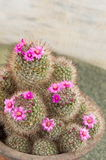 Cactus with small purple flowers Stock Image