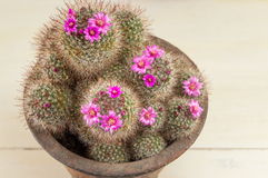 Cactus with small purple flowers Royalty Free Stock Photos
