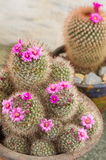 Cactus with small purple flowers Royalty Free Stock Image