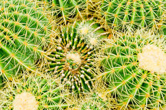 Cactus. With small stones in background royalty free stock photo