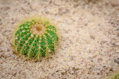Cactus small. Cactus small trees occur on land in the fertile Stock Photos