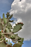 Cactus with Soft Cloud Backgound Royalty Free Stock Images