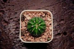 Cactus solo su legno nero Fotografie Stock