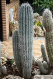 Cactus somewhere in Spain. A long cactus in andalusia royalty free stock image