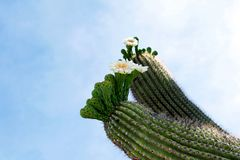 Cactus, Sonoran Desert, Arizona. Saguaro Cactus, Western, United States stock photography