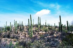 Cactus, Sonoran Desert, Arizona stock photos