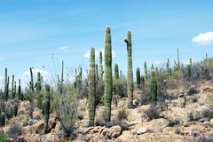 Cactus, Sonoran Desert, Arizona stock images
