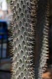 Cactus Specie Closeup Photo. Shallow depth of field Royalty Free Stock Photo