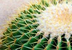 Cactus species Echinocactus grusonii, golden barrel cactus. Close-up to texture of the golden barrel cactus, Echinocactus grusonii stock image