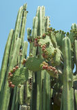 Cactus species found in Central Mexico Stock Images