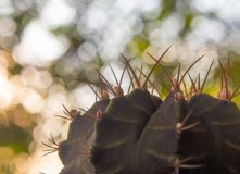 Cactus species Gymnocalycium on bokeh background royalty free stock images